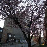 桜前線が蝦夷地にもやってきた!!