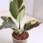 ゴムの木をハイドロカルチャーにしてみたが、うまく育つのか!?